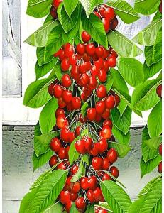 Колоновидная черешня Красная помада в Петропавловске-Камчатском