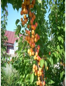 Колоновидный абрикос Первайс в Петропавловске-Камчатском