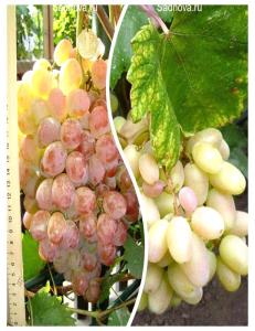 Комплект из 2-х сортов в Петропавловске-Камчатском - Виноград Преображение + Виноград Фламинго