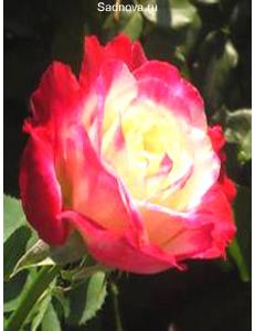 Роза Дабл Дилайт в Петропавловске-Камчатском