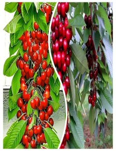 Комплект из 2-х сортов в Петропавловске-Камчатском - Колоновидная черешня Красная помада + Колоновидная черешня Квин Мери
