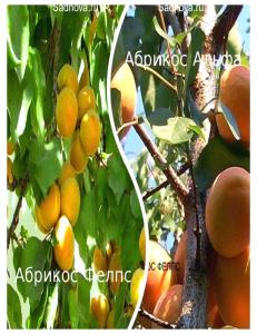Комплект из 2-х сортов в Петропавловске-Камчатском - Абрикос Альфа + Абрикос Фелпс