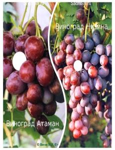 Комплект из 2-х сортов в Петропавловске-Камчатском - Виноград Атаман + Виноград Низина